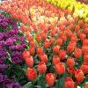 Le pays des tulipes